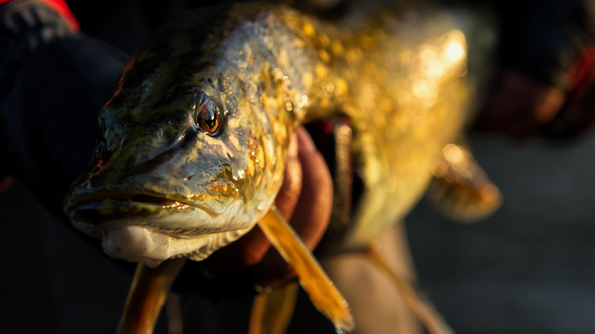 Man holds a giant Muski with golden late afternoon sunlight; closeup on the fish's face