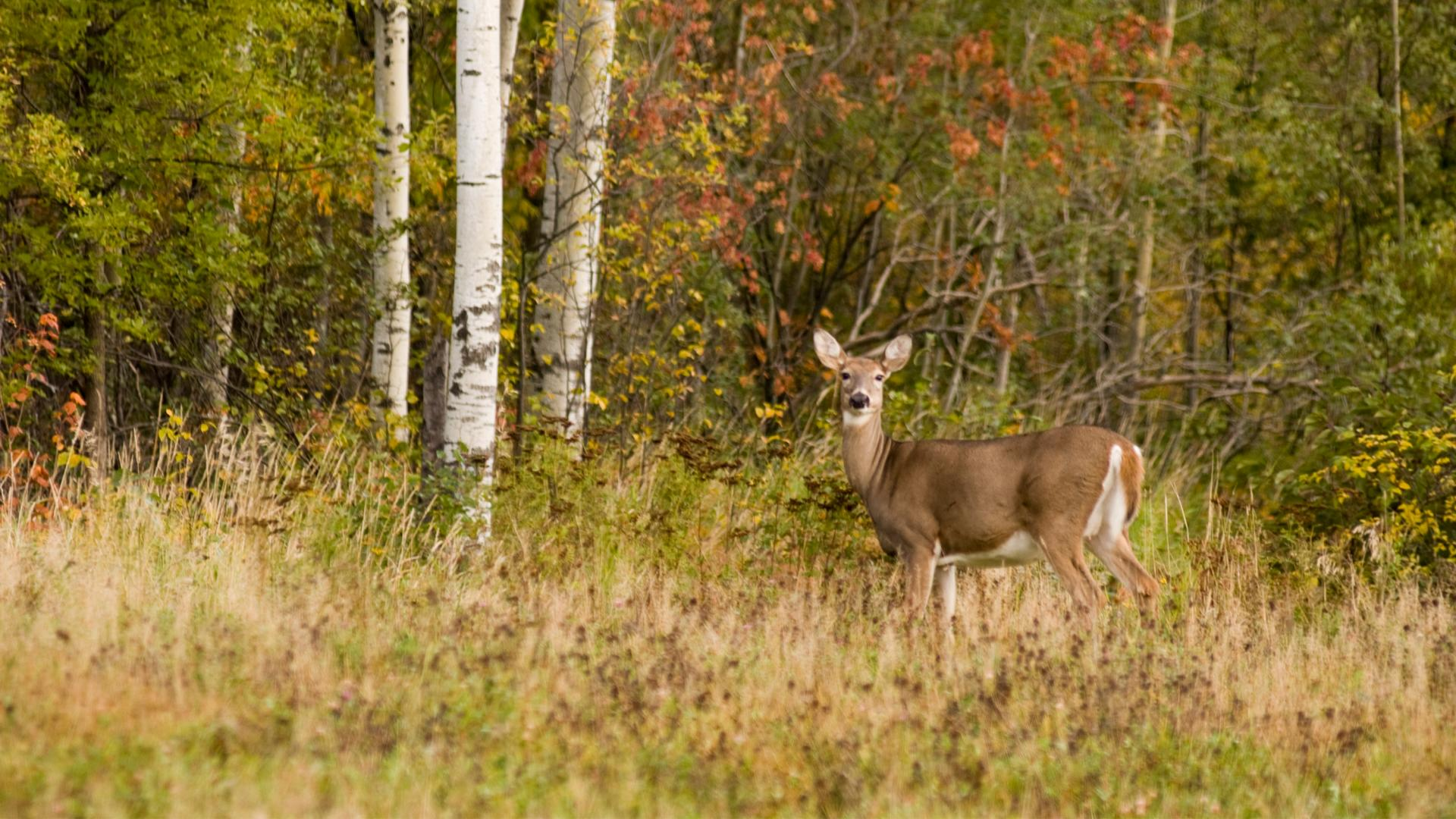 Deer at the Superior Forest Scenic Byway