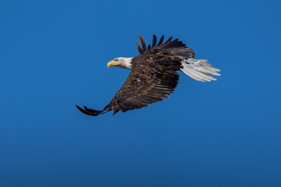 Bald eagle in flight with blue sky in the background