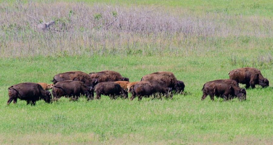 bison herd at minneopa state park