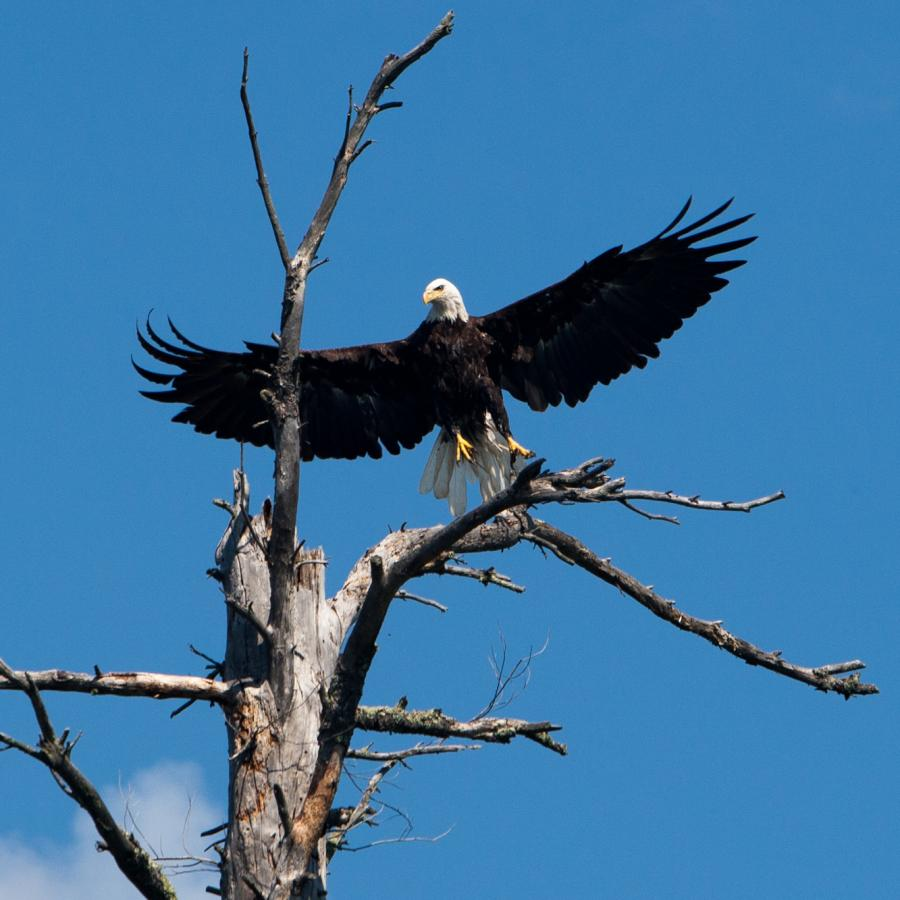 Bald eagle in tree in the Boundary Waters