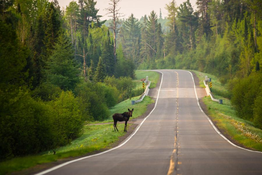 Moose standing by the road near Grand Marais