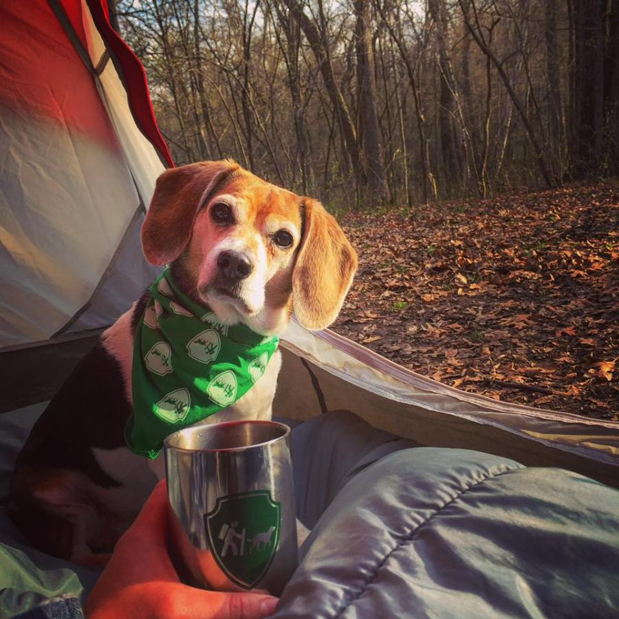 Beagle in a tent