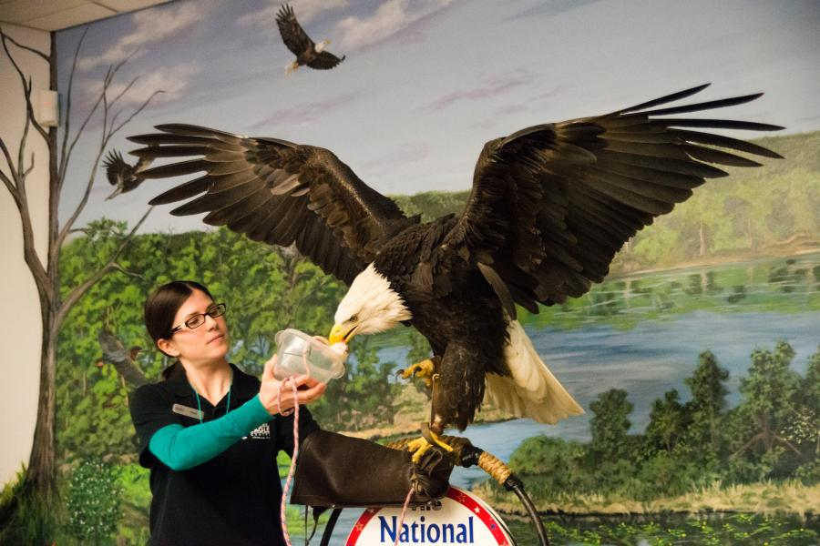 National Eagle Center eagle feeding Wabasha