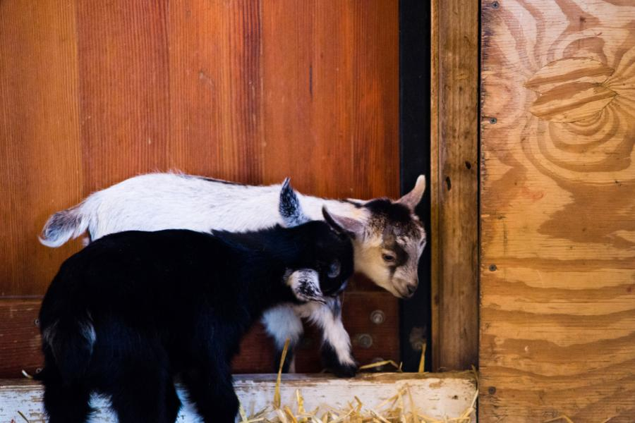Two baby goats at Minnesota Zoo