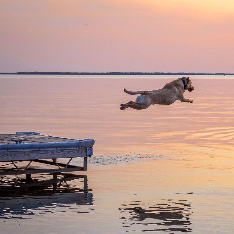dog jumping into ottertail lake at sunset