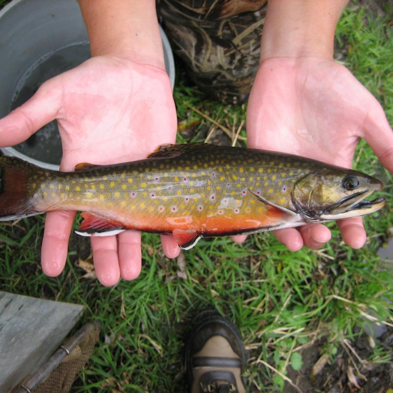 Brook trout caught from a southeastern Minnesota stream