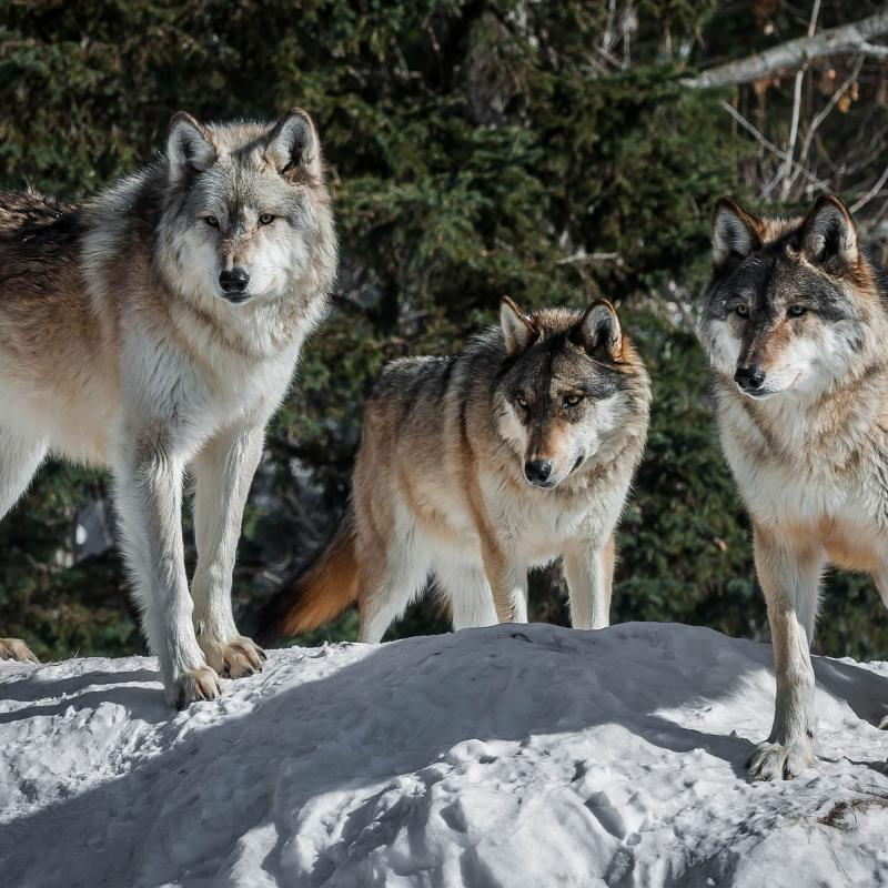 Wolf pack at the International Wolf Center in Ely