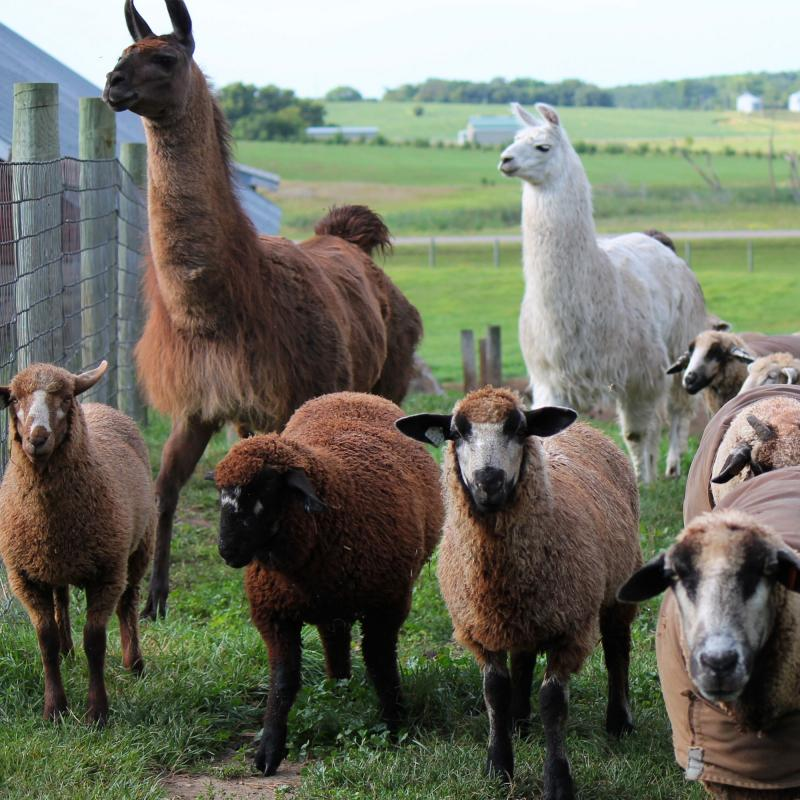 Llamas and goats at Shepard's Harvest Festival