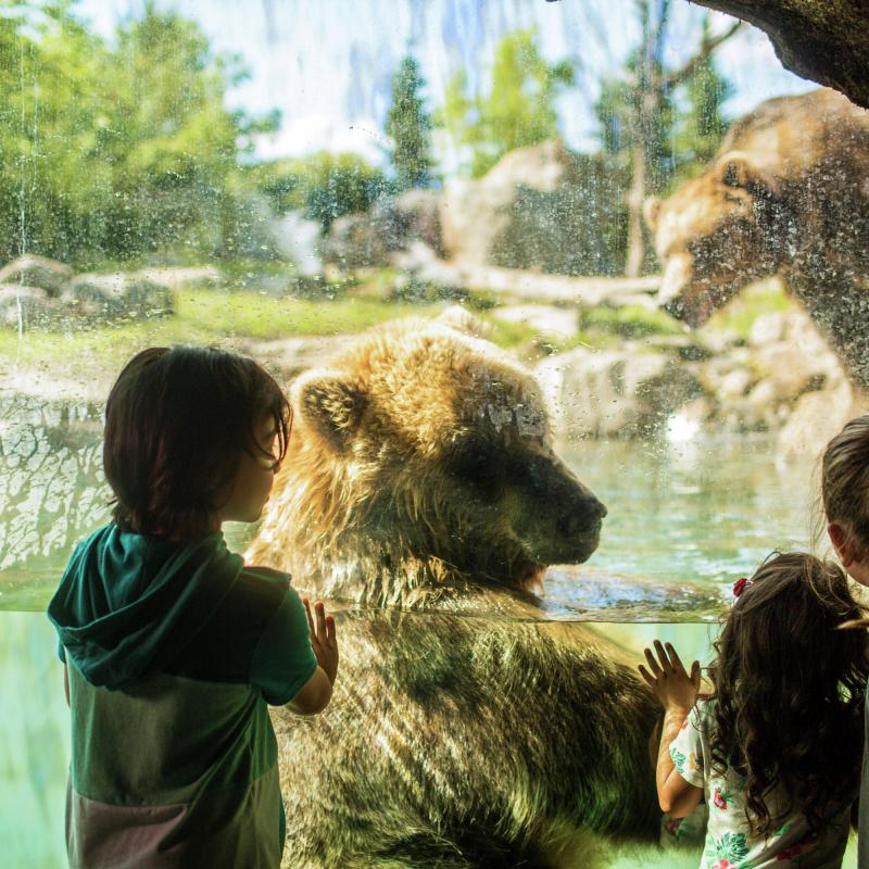 Kids looking through glass at grizzly bears at the Minnesota Zoo
